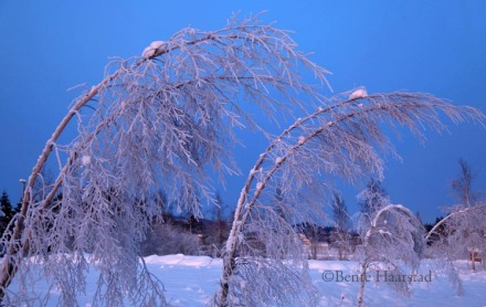Freezing blue birch trees.