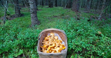 cantharellus_chanterellecw (1)