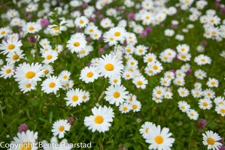 daisies_prestekrager_cw-4