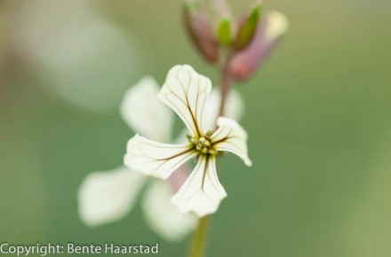 ruccola_flower_cw-3