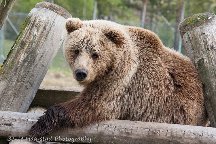 bjorn_bear_ursus_cw-4