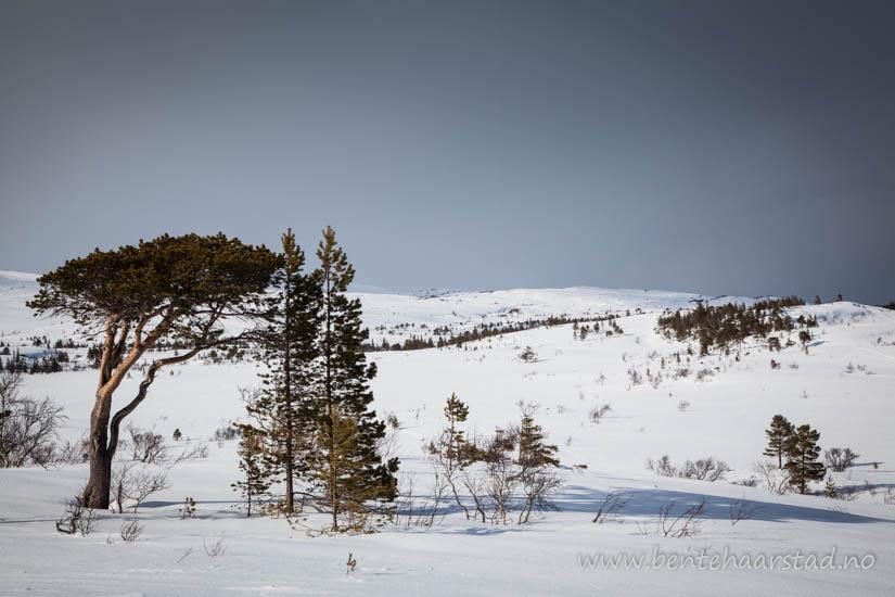 furuskog_fjell_cw-2