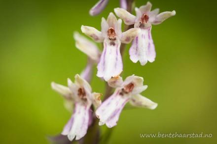 dactylorhiza_hybrid_cw-5