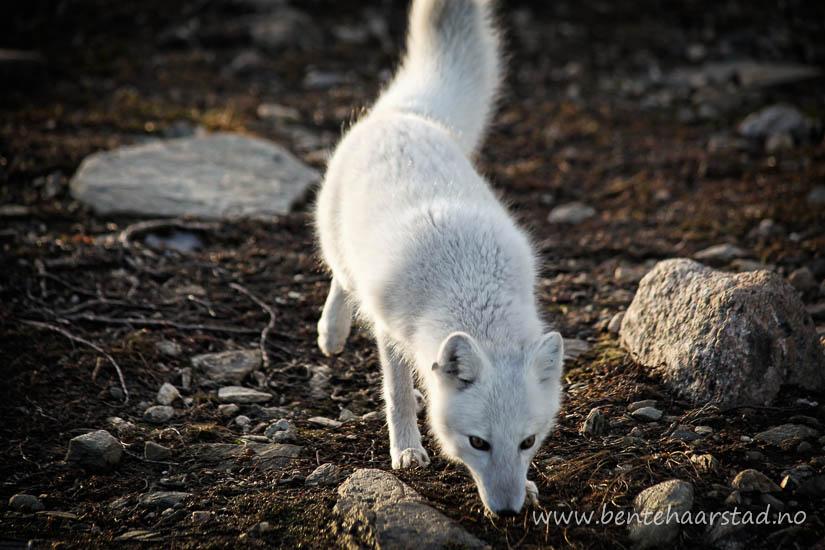 polar_fox_oppdal_cw-4