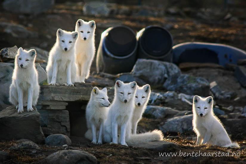 polar_fox_oppdal_cw-8