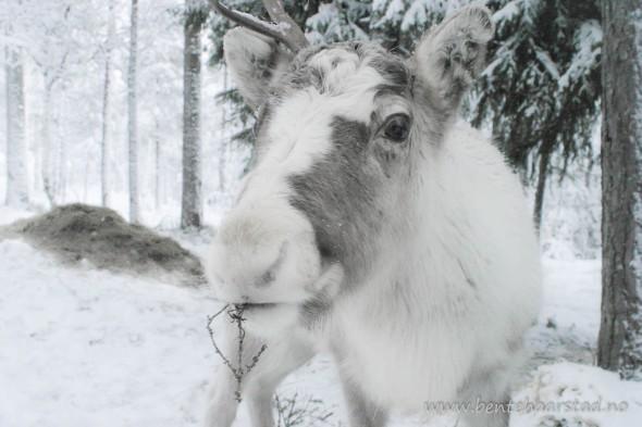 Young reindeers
