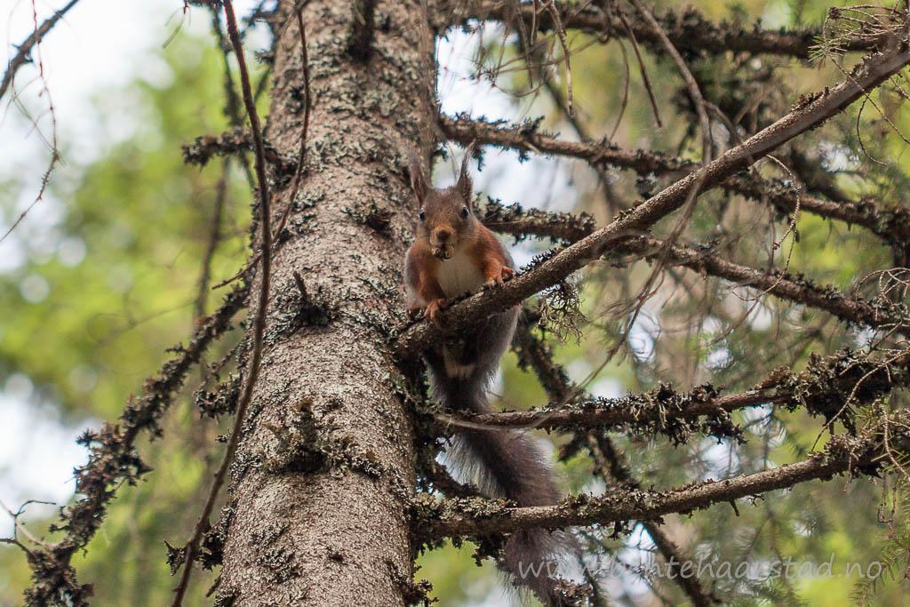 ekorn_squirrel_cw