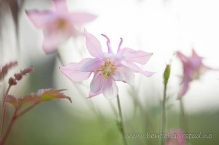 pink_akeleie_columbine_cw
