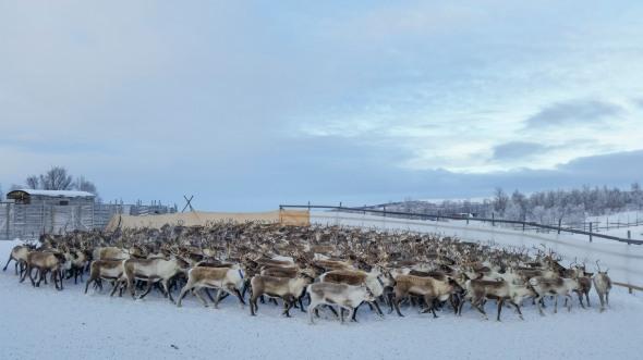 reindeers_harsjoen_s-2