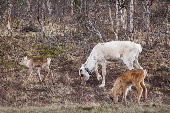 Reinsimle og kalver, sannsynligvis er bare den ene hennes egen. Kalvene er neppe mer enn et par uker gamle. Reinen har trukket ned fra fjellet der det ennå er vinter, i håp om å finne noe grønt i  dalene. Her ved vegen mellom Tydal og Brekken i Sør-Trøndelag.