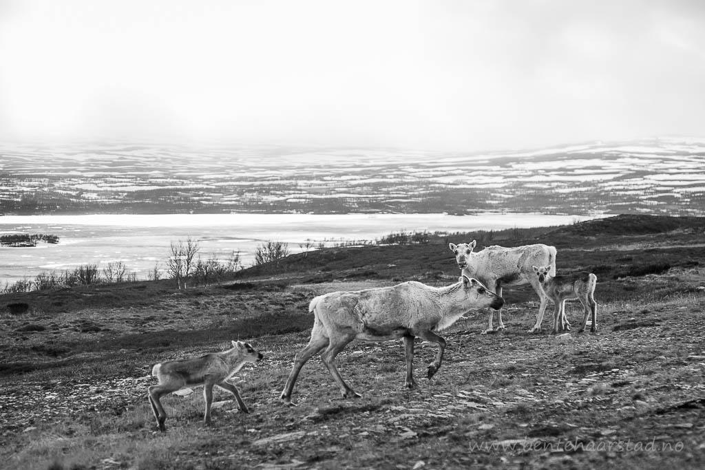 To reinsimler med kalv. Langsvola, mellom Tydal og Brekken i Sør-Trøndelag.