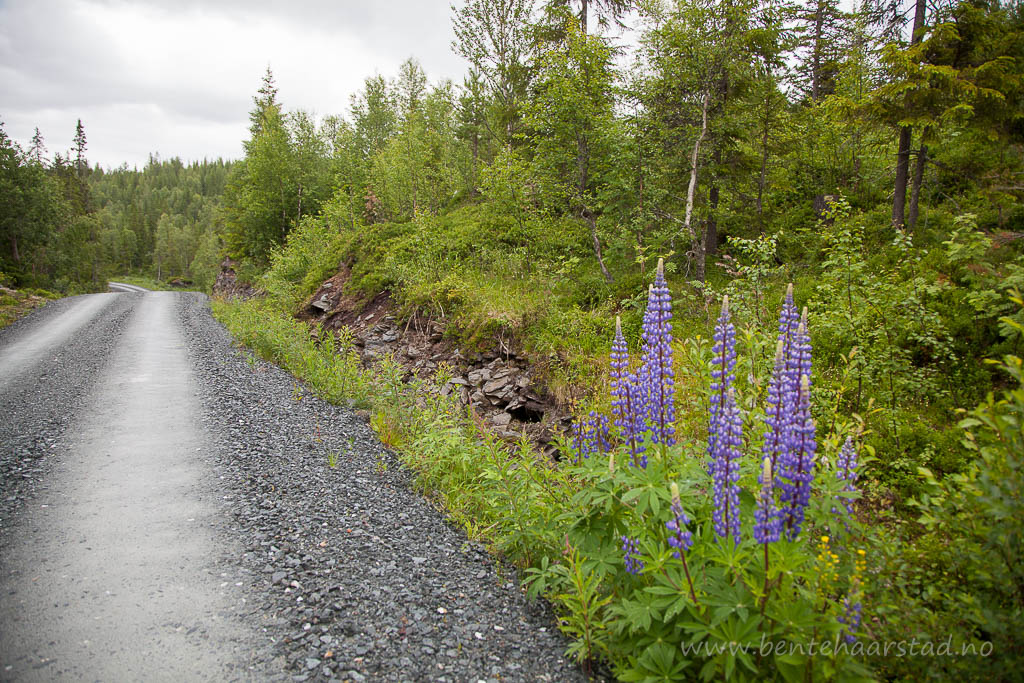 Hagelupin (Lupinus polyphyllus), sandlupin (Lupinus nootkatensis) eller jærlupin (Lupinus perennis), begge er nordamerikanske arter og svartelistet i Norge. Store mengder langs vegkantene i Tydal i Sør-Trøndelag.