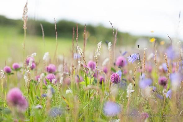 Blomstereng ved Brekken, Røros i Sør-Trøndelag. Blant annet blåklokker (Campanula), rødkløver og harerug.