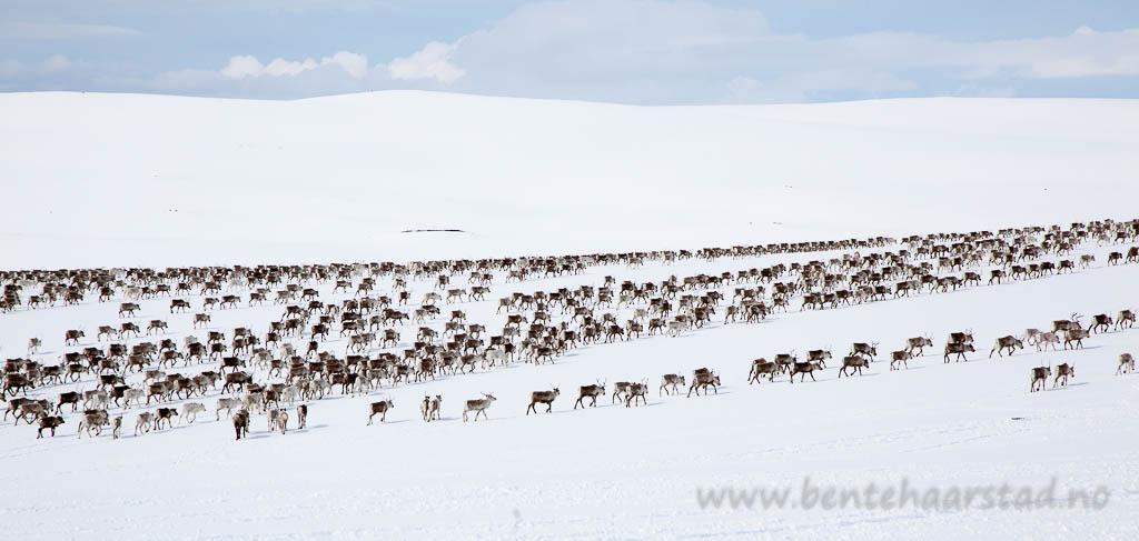 Vårflytting, reindeer migration, Gåebrien sijte, Sør-Trøndelag.